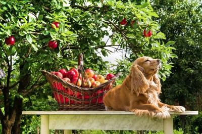 りんごと犬の写真