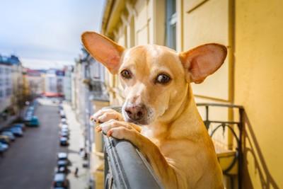 マンションのバルコニーに立つ犬