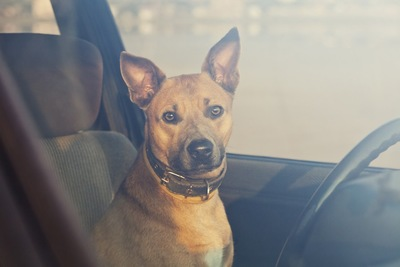車内に座っている茶色い犬