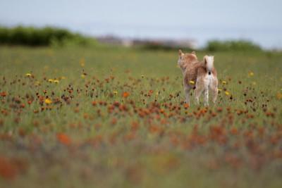 野原に佇む柴犬の後ろ姿