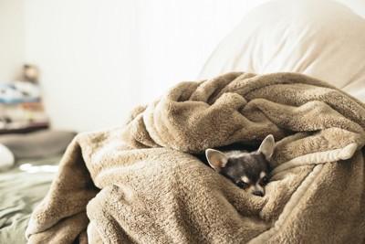 毛布にくるまって眠るチワワ