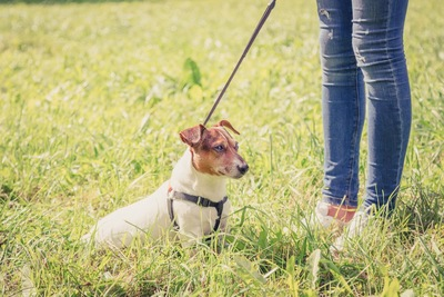 飼い主と一緒に草むらにいるオンリードのジャックラッセルテリア