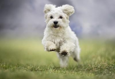 走っている白い犬