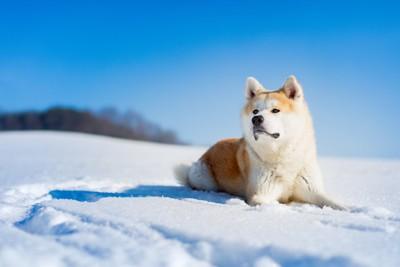 雪の中に伏せる秋田犬