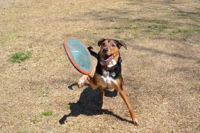フリスビーをする犬