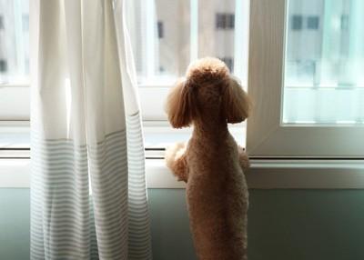 立ち上がって窓の外を眺めるトイプードル