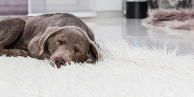 寝ている保護犬
