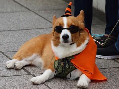 ハロウィン仮装の犬