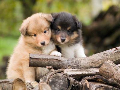 木材と2匹のシェットランドシープドッグの幼犬
