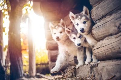 遊ぶ子犬たち