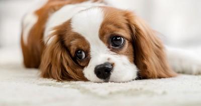 ふてくされた顔をした犬