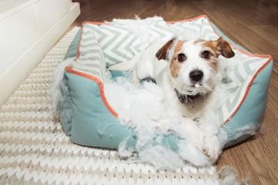 クッションをボロボロにしている犬