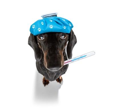 氷嚢を頭に乗せ体温計をくわえる風邪をひいた犬