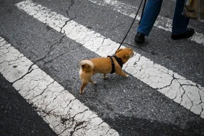 横断歩道を渡る小さな犬
