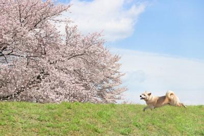 桜の中を走る柴犬