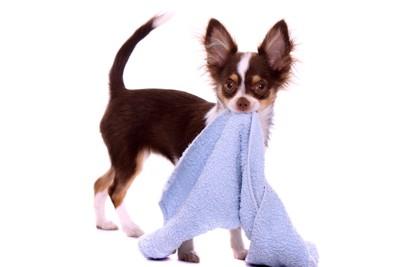 タオルを運ぶ犬