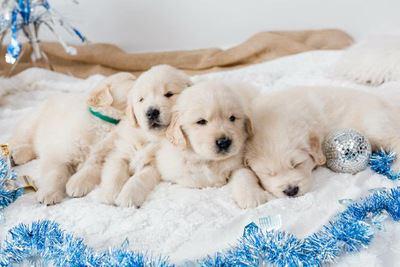 絨毯の上でくっついて眠る4匹のゴールデンレトリバーの幼犬