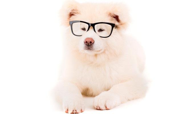 めがねをかけた白い秋田犬