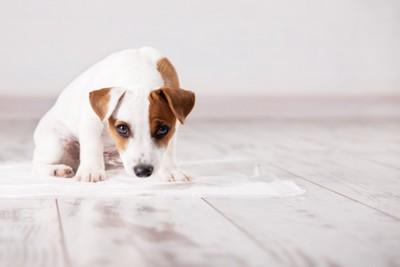トイレシートの上に座る子犬
