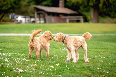 芝生の上で挨拶する2匹の犬