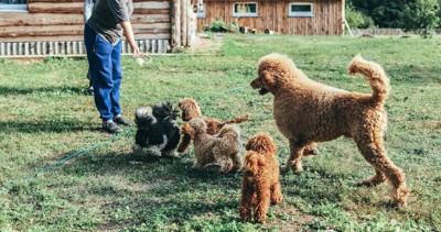 庭で遊ぶスタンダードプードルと子犬たち