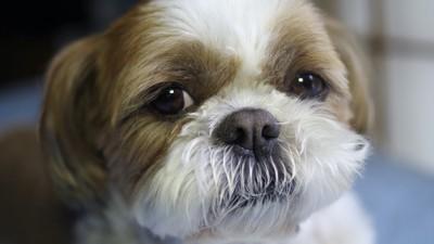 こちらを見つめるシーズー犬