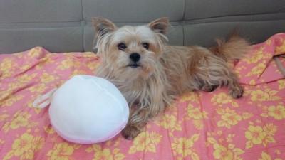 フセをした犬とおもちゃ