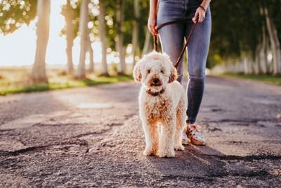 飼い主と散歩をするトイプードル