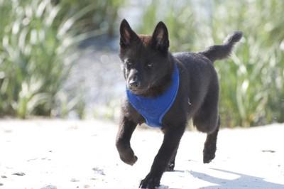 砂浜を走る甲斐犬