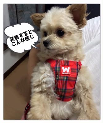 #ハーネスを着用した犬#