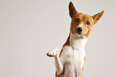 片手をあげている茶と白の犬