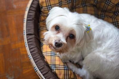 ドッグベッドで丸まった白い犬