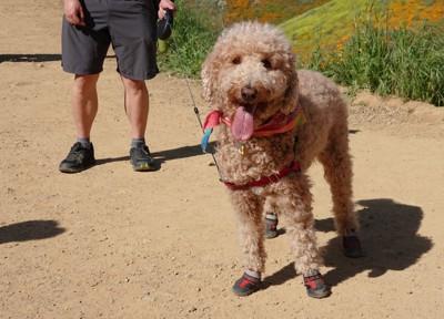 ハイキングブーツを履いている犬