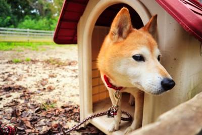 犬小屋から顔を出す柴犬