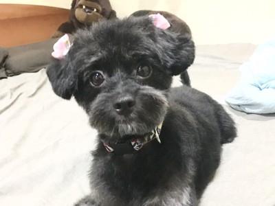 見つめる愛犬(黒)