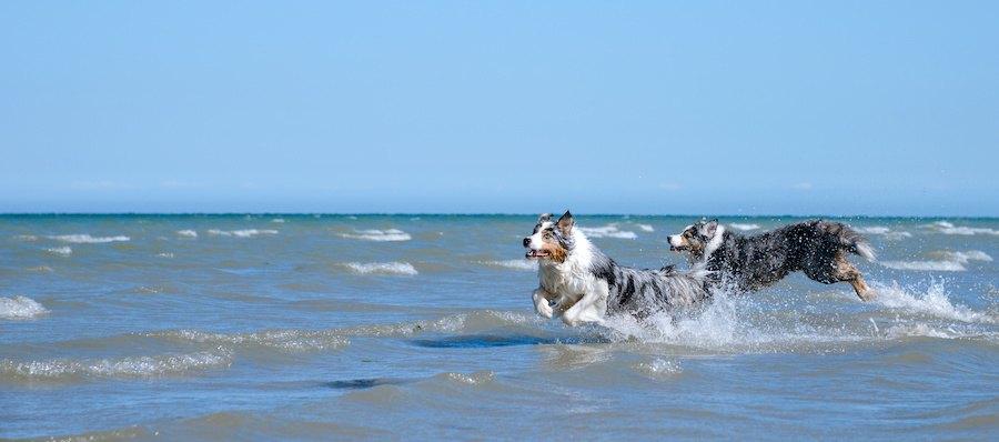 海辺を走る2匹の犬