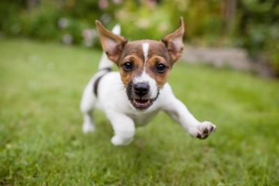 走っている子犬