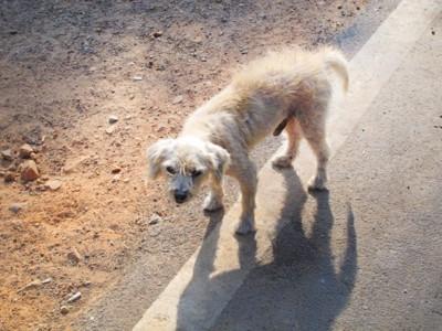 道路に立ち尽くす痩せた犬