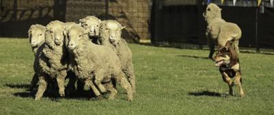 羊を追いかけるオーストラリアンケルピー
