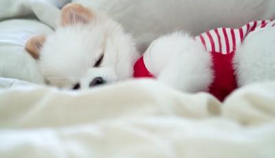 気持ち良さそうに眠る白いポメラニアン