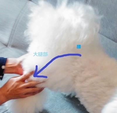 白い犬 後ろ側 腰からマッサージ