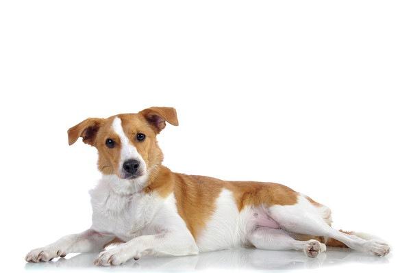 69548555 白と茶の伏せた犬