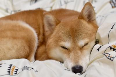 寝ている柴犬
