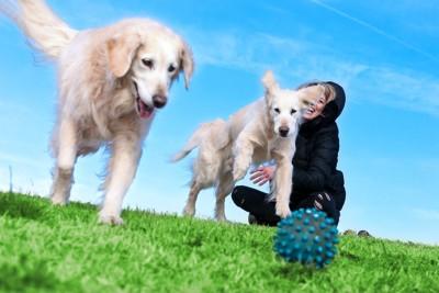 青いボールを追って走る2頭の犬