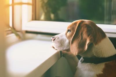 窓の外を見る犬