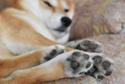 足を伸ばしたまま寝る柴犬