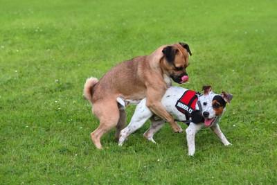 芝生の上でマウンティングする2匹の犬