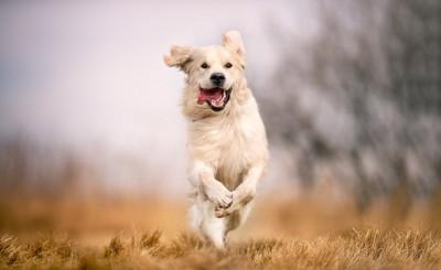 走ってジャンプしているゴールデン