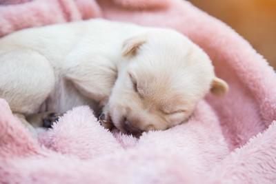 ピンクの毛布に包まれた白い子犬