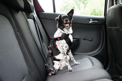 シートベルトをする犬